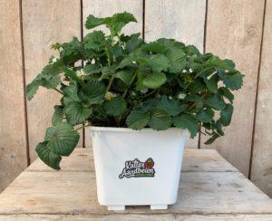 kalter aardbeienplanten